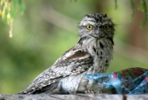1-tawny-frogmouth-released-web