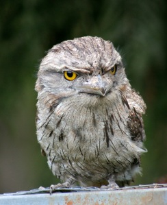 2-tawny-frogmouth-release-2-web