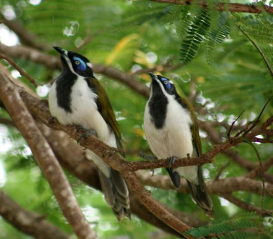 blue-faced-honeyeaters-quiet