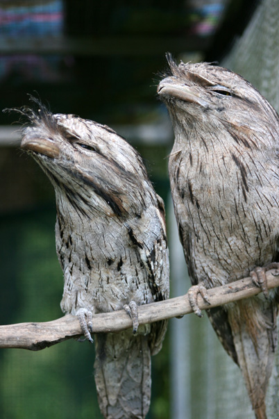 tawny-frogmouth-pair-2-web