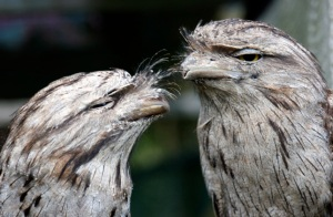 tawny-frogmouth-pair-web
