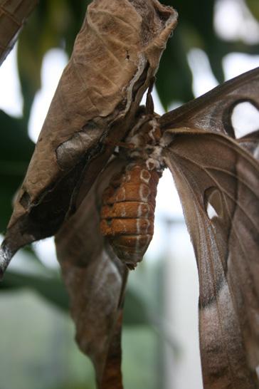 hercules-moth-10web1