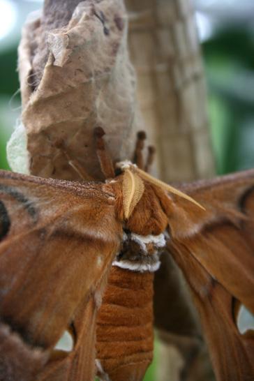 hercules-moth-1web