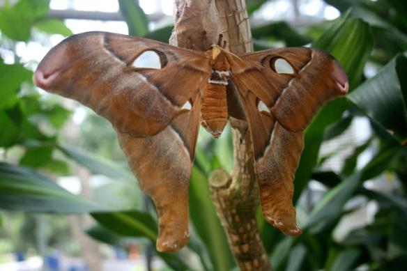 hercules-moth-2web