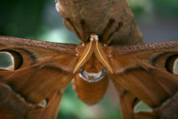 hercules-moth-30web