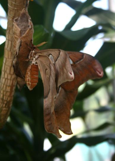 hercules-moth-41web