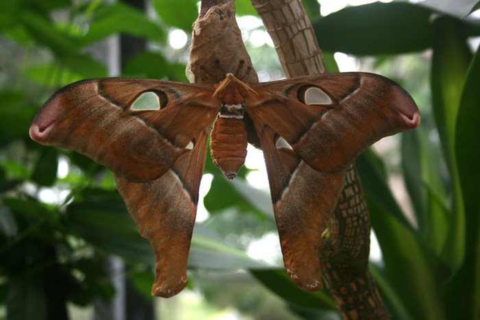 hercules-moth-large
