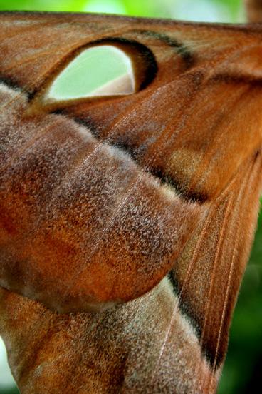 hercules-moth-web