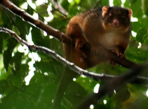 ringtail-possum-13web