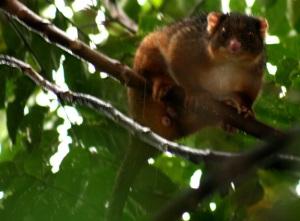 ringtail-possum-13web