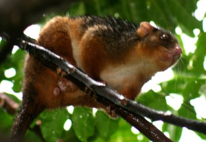 ringtail-possum-8web
