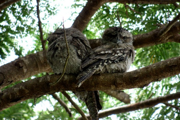 tawny-frogmouth-pair-web-2
