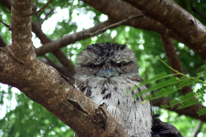 tawny-frogmouth-pair-web-3