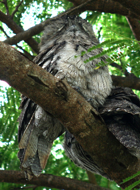 tawny-frogmouth-pair-web-4