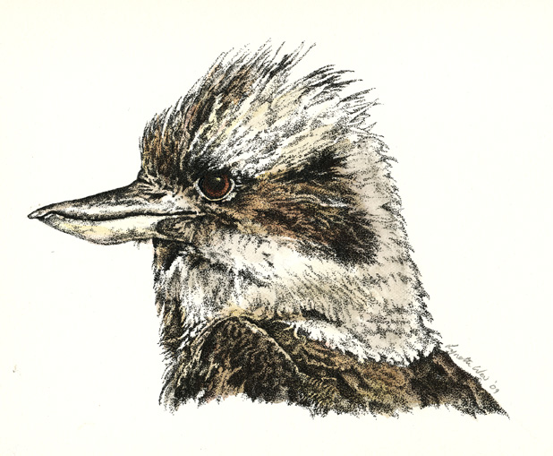 Kookaburra Illustration Drawing 1