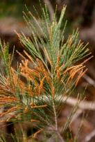 Allocasuarina Littoralis - Male Flowers