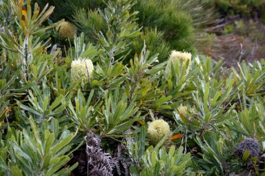 Banksia serrata or possibly Banksia aemula