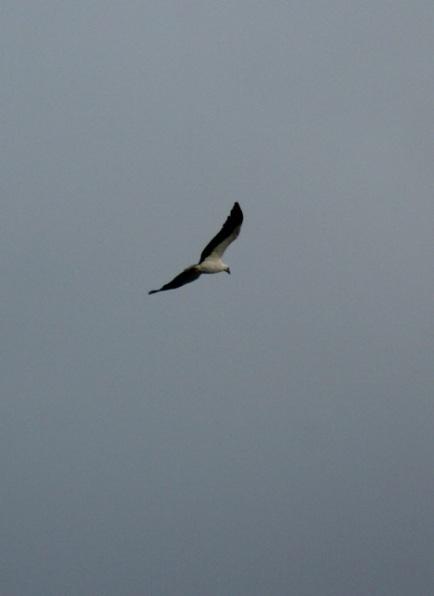 Sea Eagle 11