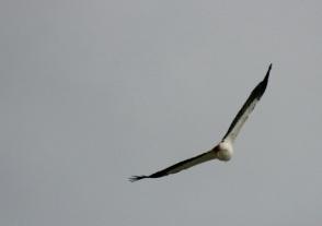 Sea Eagle 7