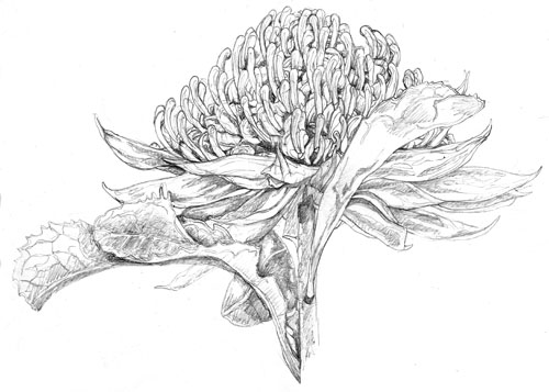 *Drawing Images-WARATAH 2 ILLUSTRATION 1 WEB
