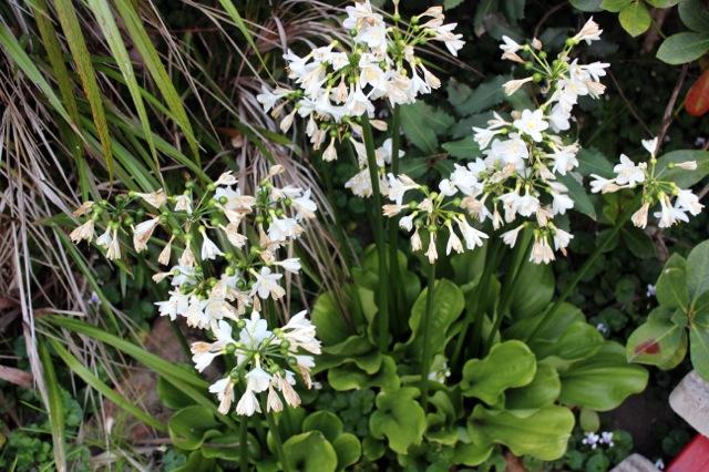 Brisbane Lily 2012 10