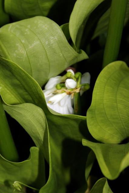 Brisbane Lily 2012 15