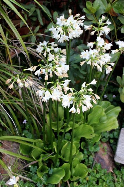 Brisbane Lily 2012 17