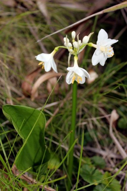 Brisbane Lily 2012 3