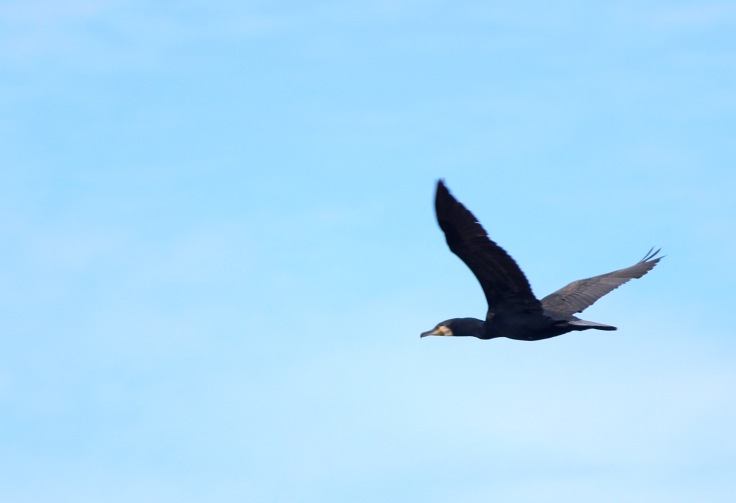 Black Cormorant Flying