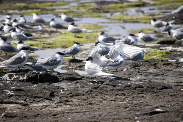 Crested Tern 1