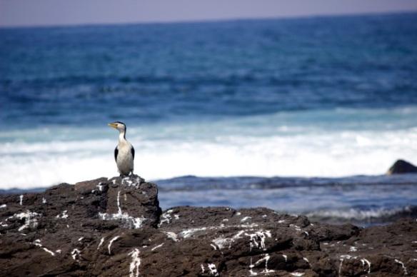 Little Cormorant 2