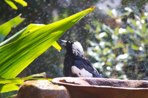 Magpie shower 15