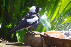 Magpie shower 16