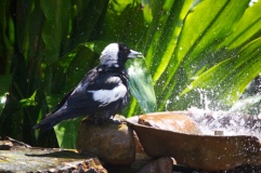 Magpie shower 17