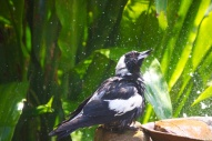 Magpie shower 18