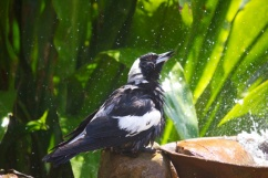 Magpie shower 19