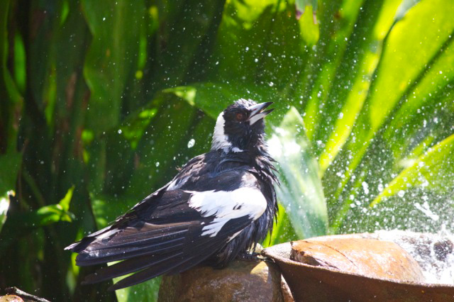 Magpie shower 20