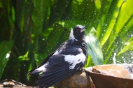 Magpie shower 21