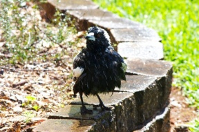 Magpie shower 6