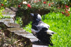 Magpie shower 7
