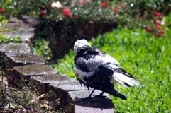 Magpie shower 8