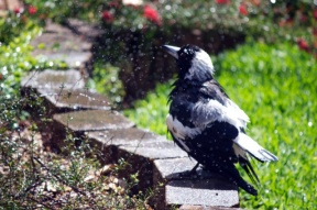 Magpie shower 9