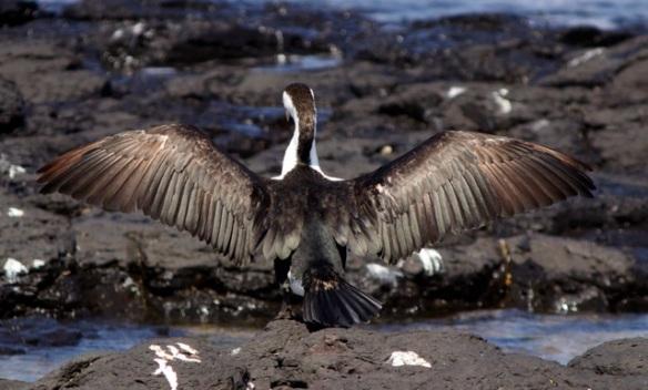 Pied Cormorant 3