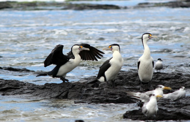 Pied Cormorants Three 1
