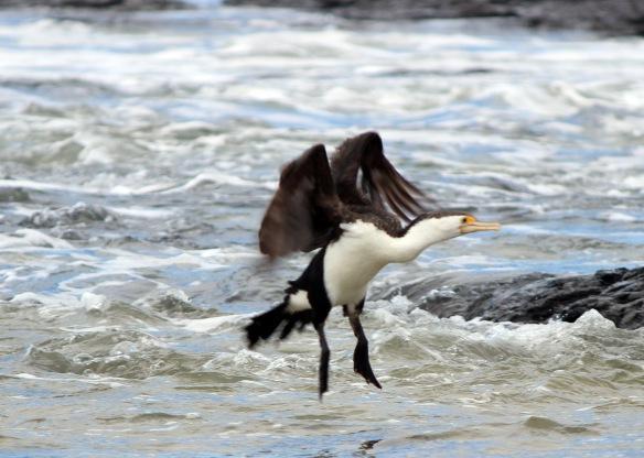 Pied Cormorants Three 2
