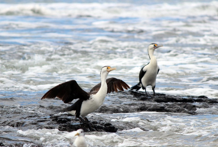 Pied Cormorants Three 3