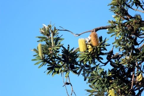 Coastal Banksia