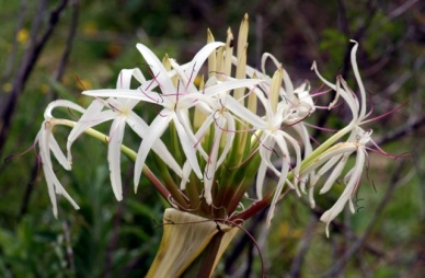 Beach Lily