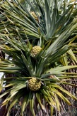 Seaside Wildflowers - BALLINA PANDANUS 10