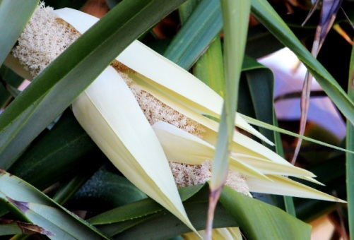 Seaside Wildflowers - BALLINA PANDANUS 14